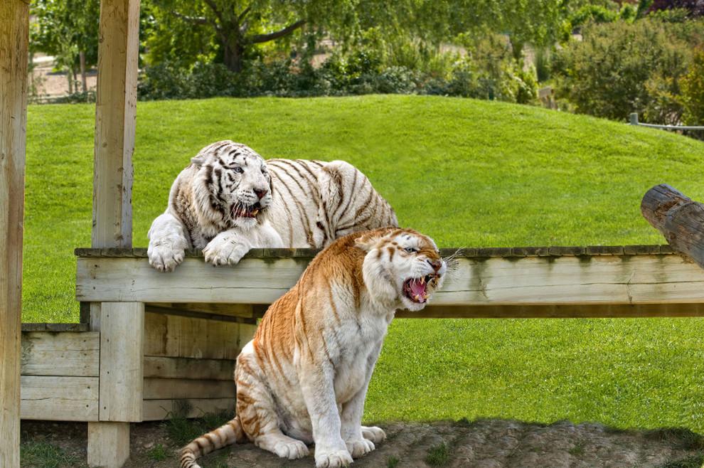 Tigres Blancos de Sendaviva