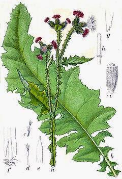 OSET KĘDZIERZAWY Carduus crispus