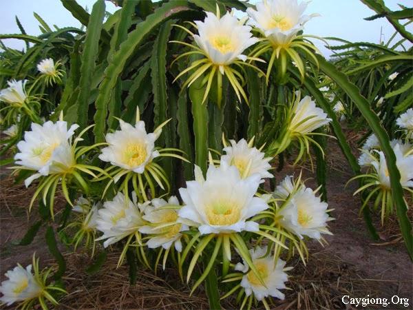 Dấu hiệu sự ra hoa
