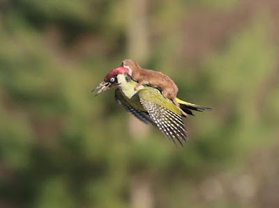 Otter on a woodpecker