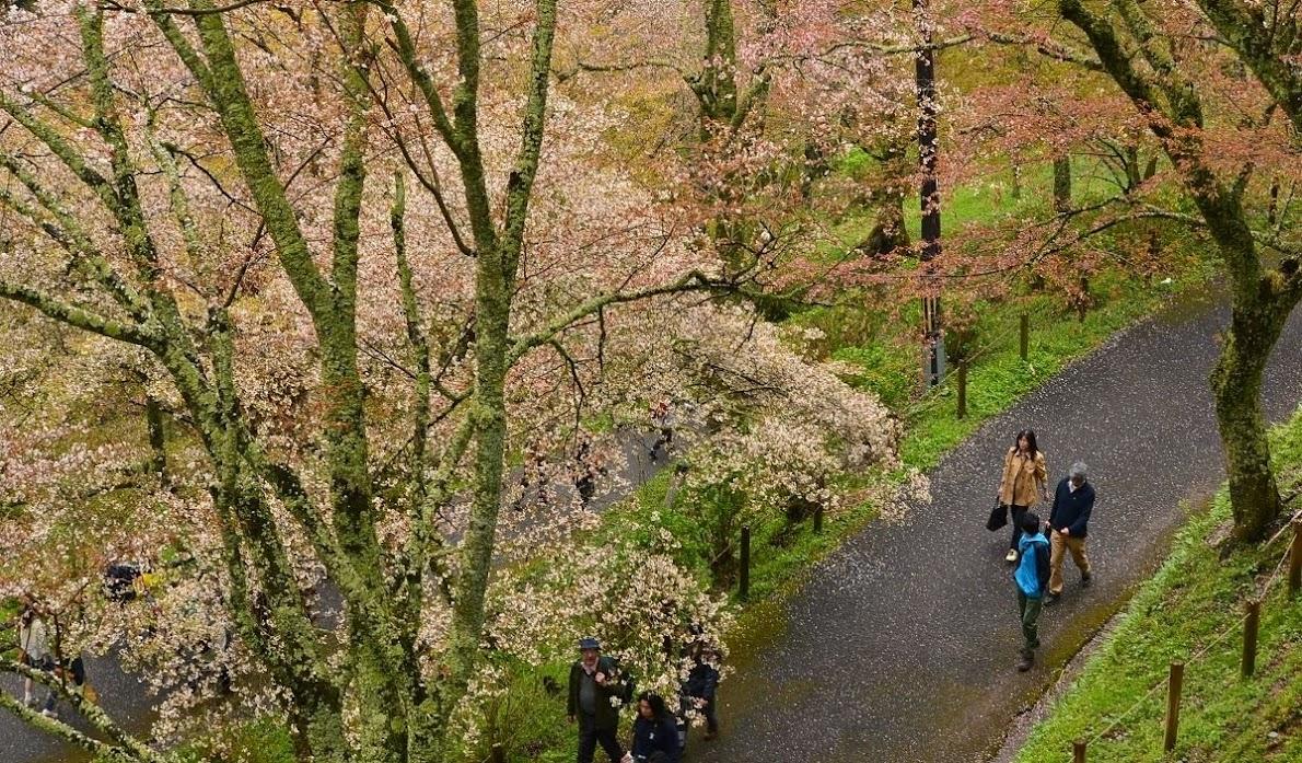 Sakura at Yoshino