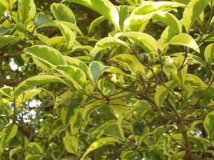 Lotus flower ligustrinas clasificaci n y cuidados for Arboles de hojas perennes para veredas