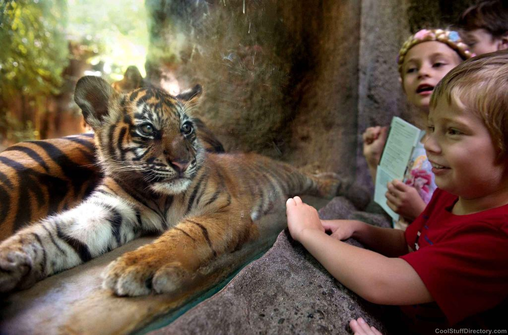 The first public appearance of the Sumatran tiger cub named CJ in Sacramento Zoo, USA