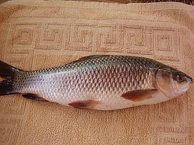 Tập tính ăn mồi của cá trôi