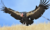 Live Streaming Condor Cam!