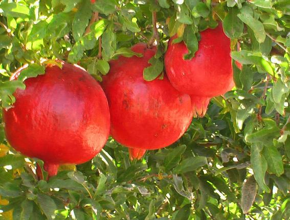 गुणकारी व् स्वादिस्ट फल अनार