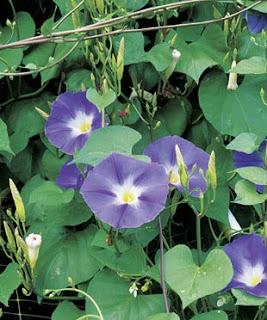 Sweet Ipomoea Alba Flower