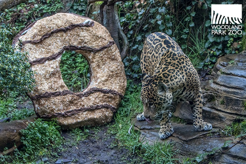 Woodland Park Zoo Blog Jaguars and otters help Girl Scouts