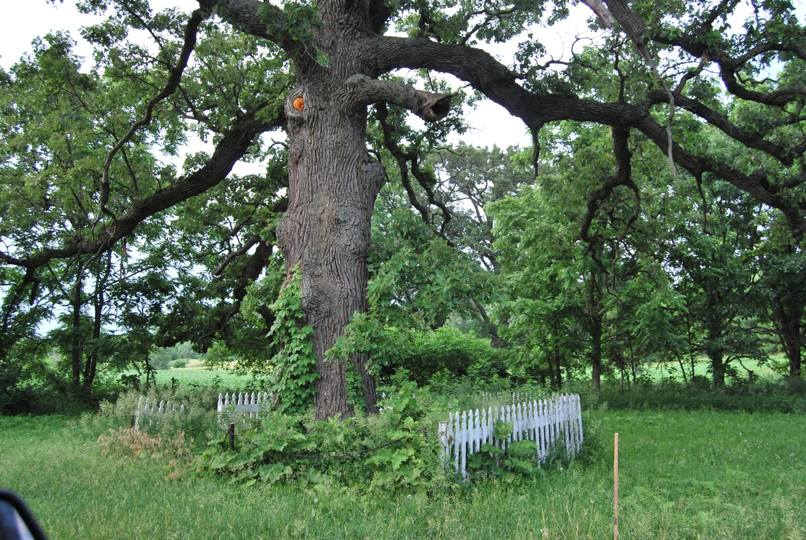 Illinois bureau county neponset - Around The Corner From The Boulder Or About Three Miles South Of Mineral Illinois On The East Side Of County Road Aa Is This Giant Burr Oak Tree