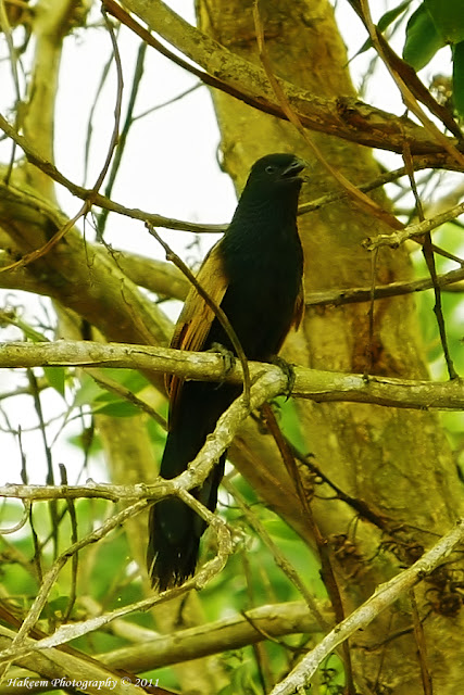 Lesser Coucal-Bubut Centropus bengalensis