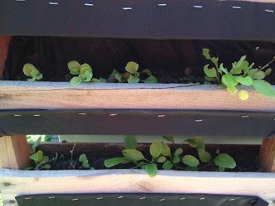 wood palette garden lettuce