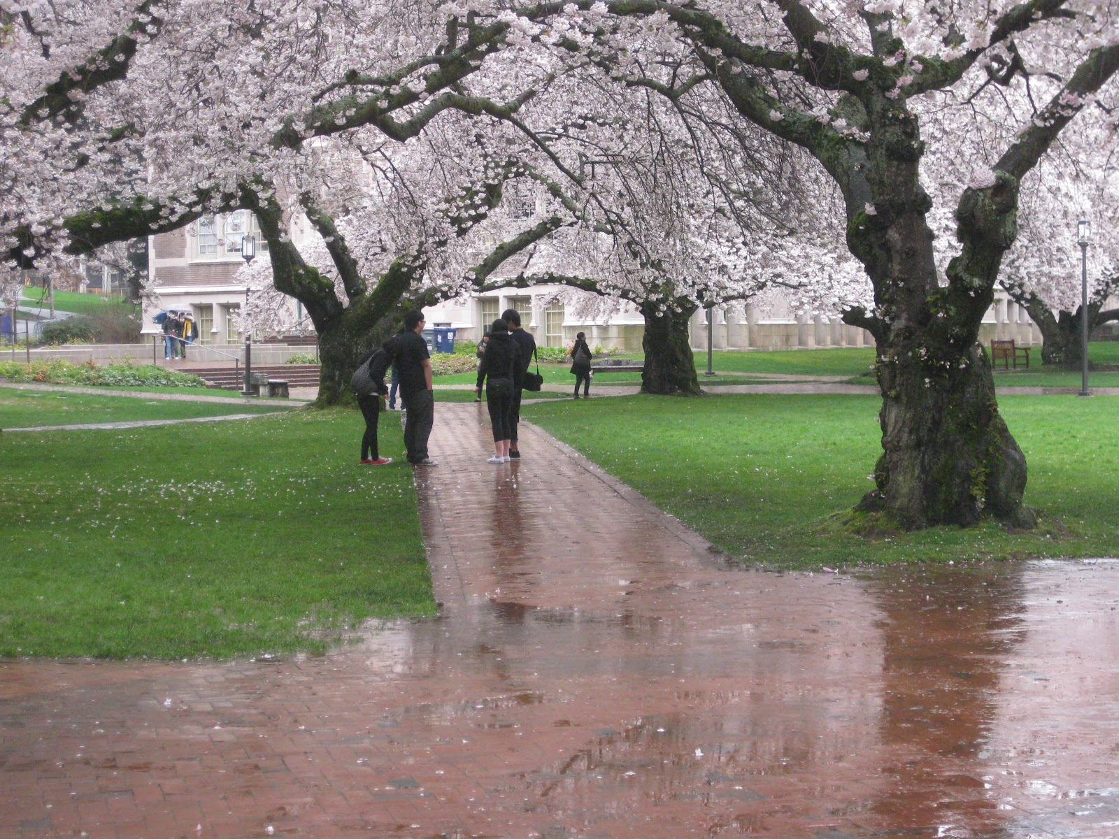 Seattle Japanese Garden Community Blog: Japan - U.S. Cherry blossom ...