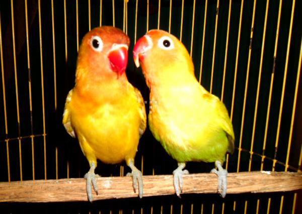 burung love bird labet pasjo vs paskun illo spocky