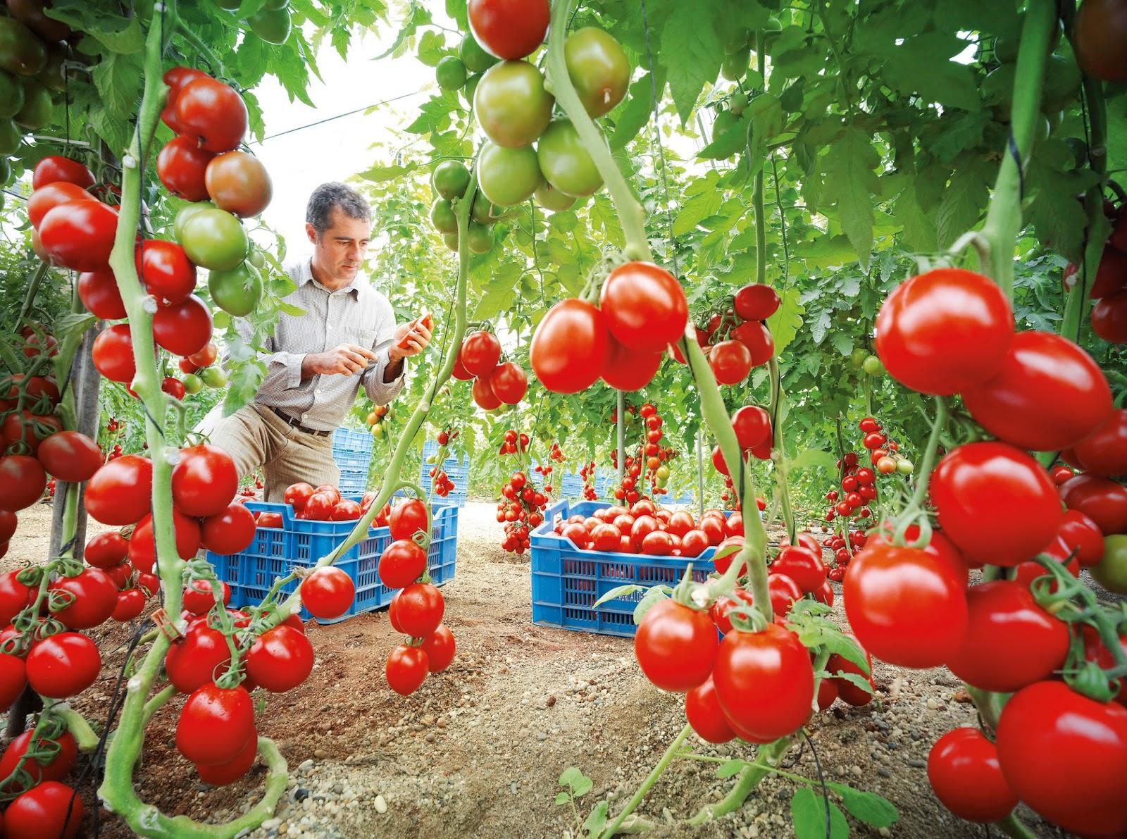 Muchos documentos de ayuda para trabajos el manual cultivo del tomate proteccion analisis - Tomates cherry en maceta ...