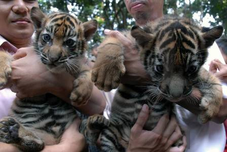 foto harimau sumatera - gambar hewan