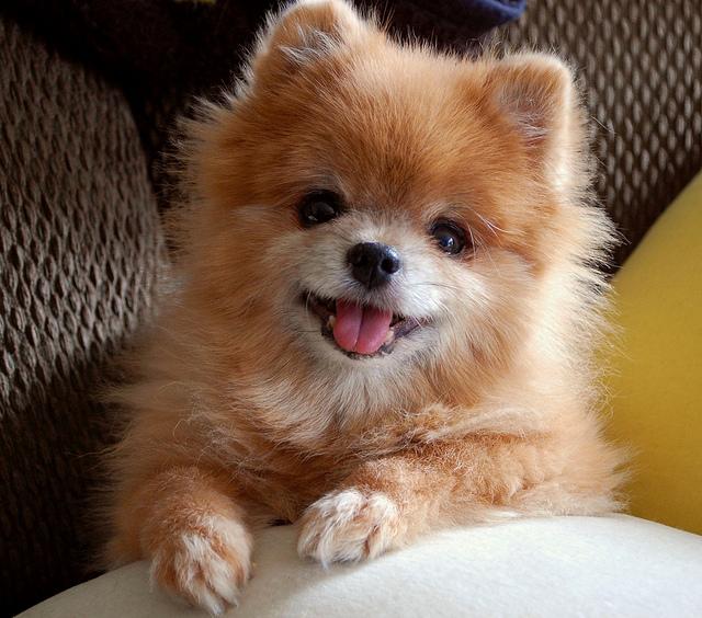 Cute Pomeranian Photos | La Oddee