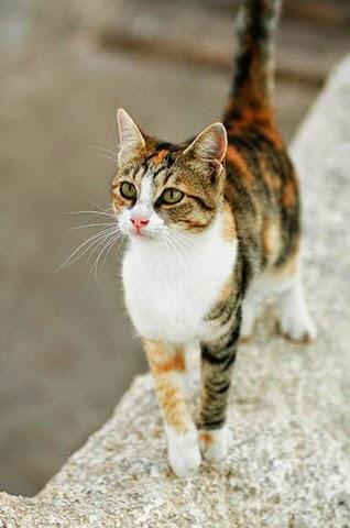 gato raça egeu