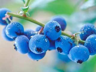 Blueberry dapat Melawan Depresi dan Juga Hipertensi