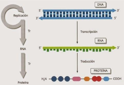 Apuntes De Evolucion Dogma Central De La Biologia Y La Sintesis