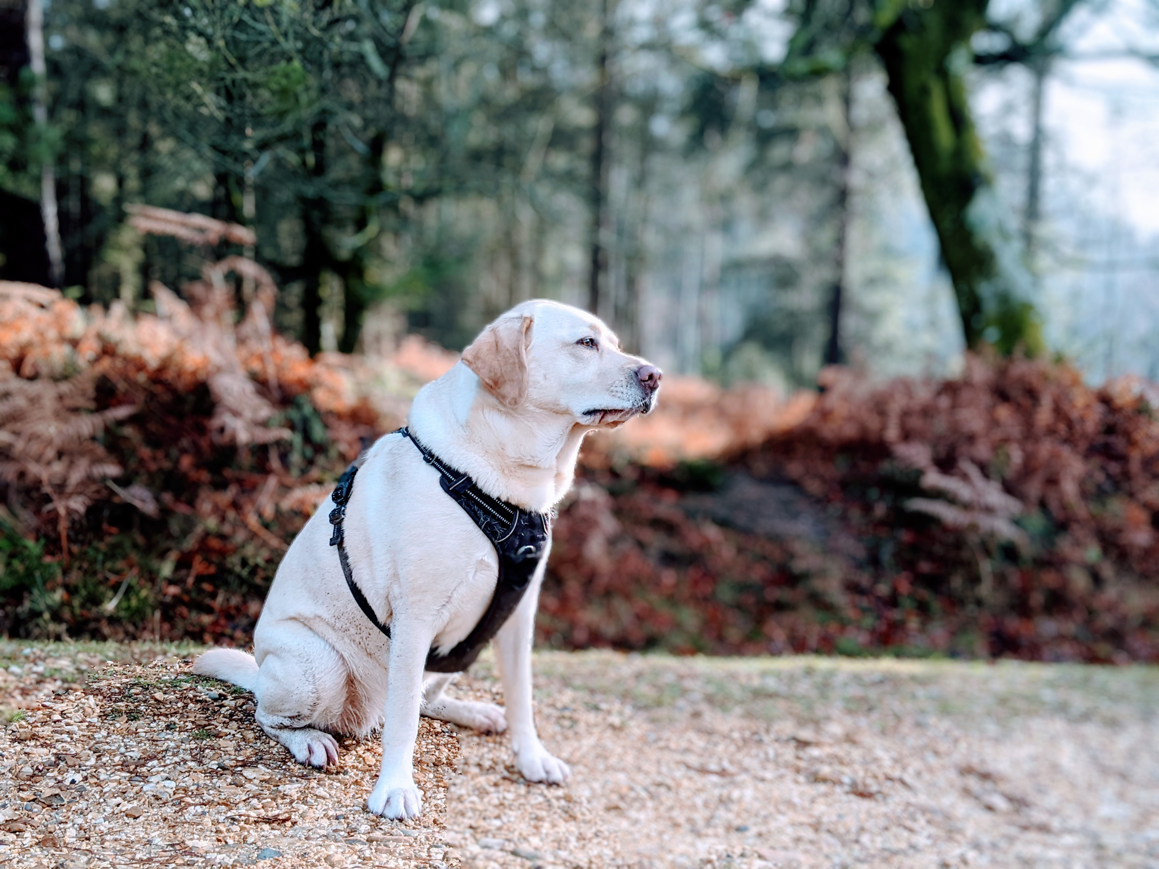 Scully the Labrador in winter woods