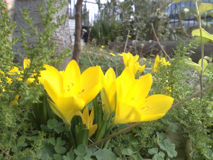 κίτρινος κρόκος