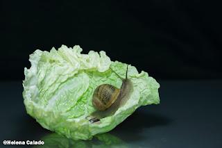 fotografia do caracol com folha de couve