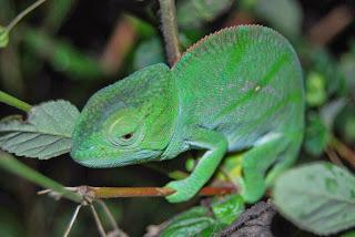 chameleon animal planet