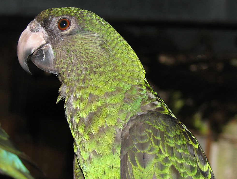 All wallpapers jardine 39 s parrots for Jardin jardine