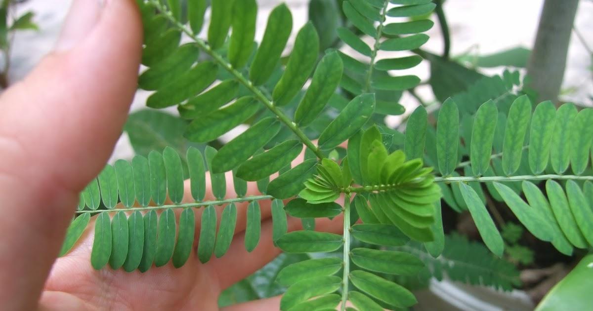 Plantas Curativas y Medicinales Elimina los Cálculos Renales con