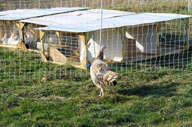 Sweetgrass hen checks out the rabbit tractors