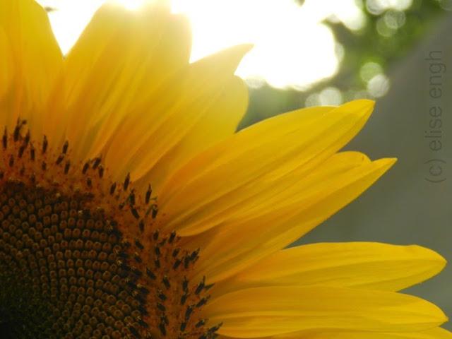 large yellow sunflowers