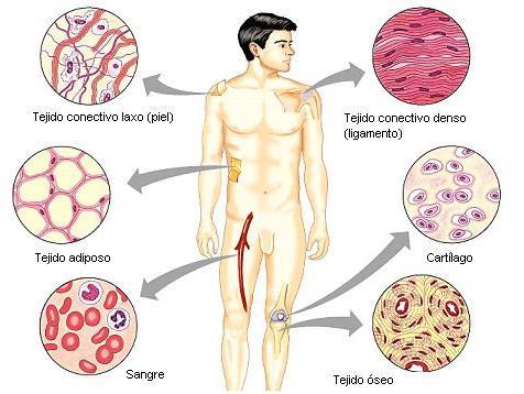 ... dentina sangre y tejido hematopoyetico ademas del tejido linfoide