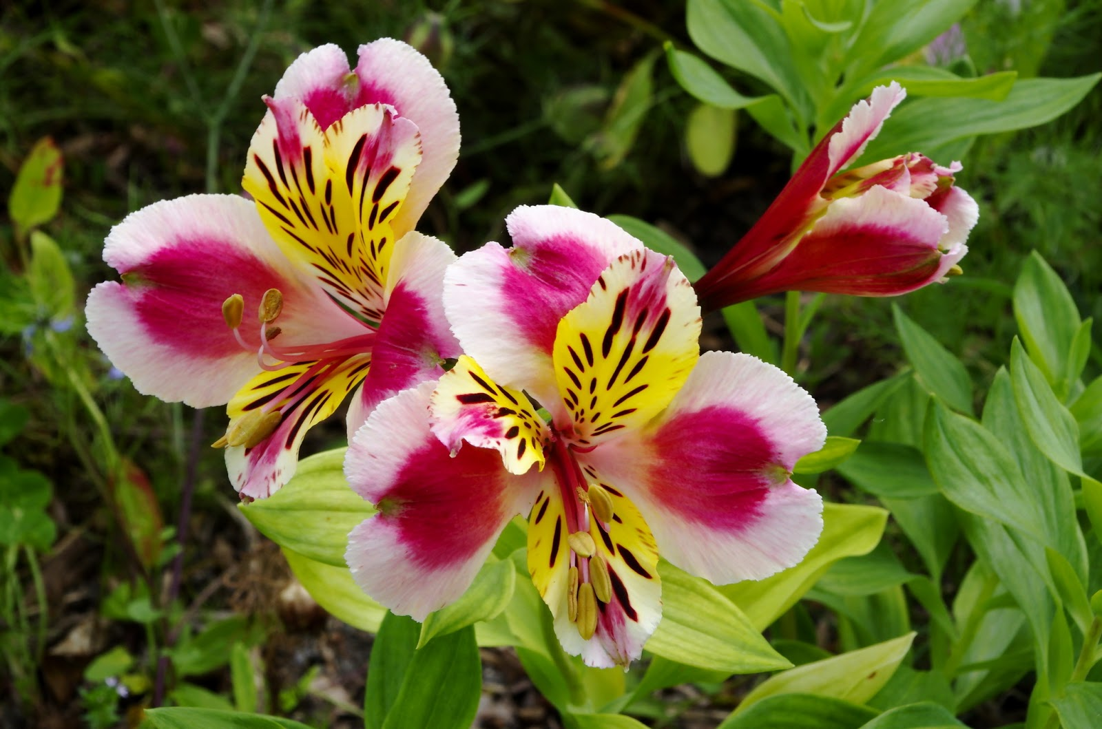 Flower Homes Alstroemeria Flowers