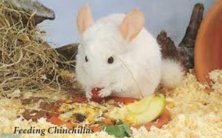 Feeding for a Chinchilla