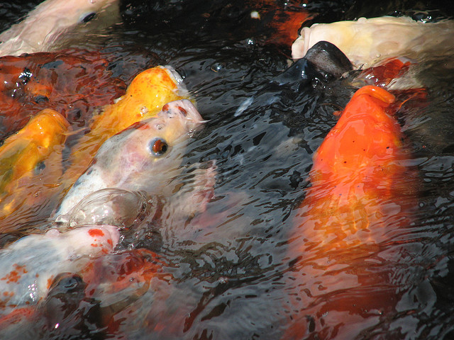 Caring for your koi fish carp exotic tropical ornamental for Koi feeding
