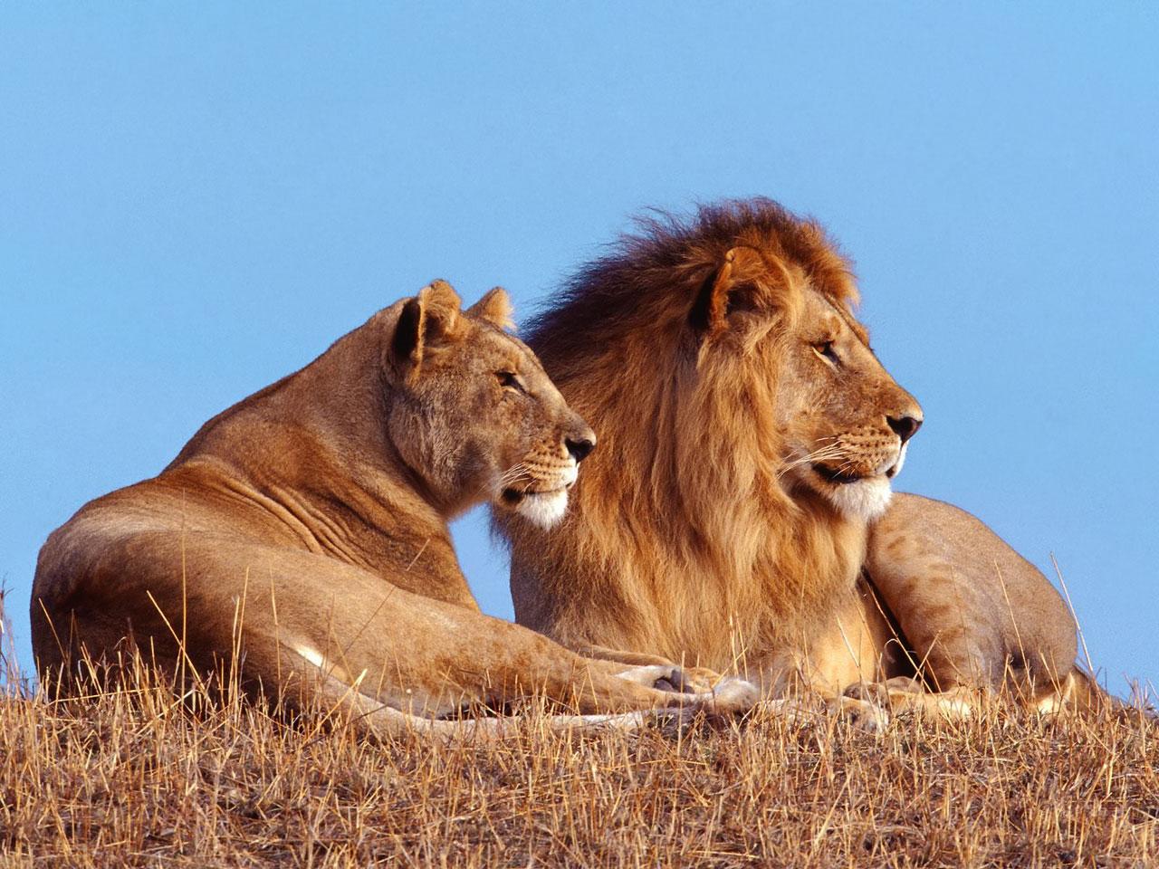 Dangerous Hd Lion Wallpapers Wild Life