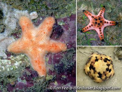 Sea Stars (Class Asteroidea)
