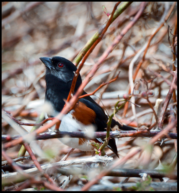 Eastern Towhee - Looking Up