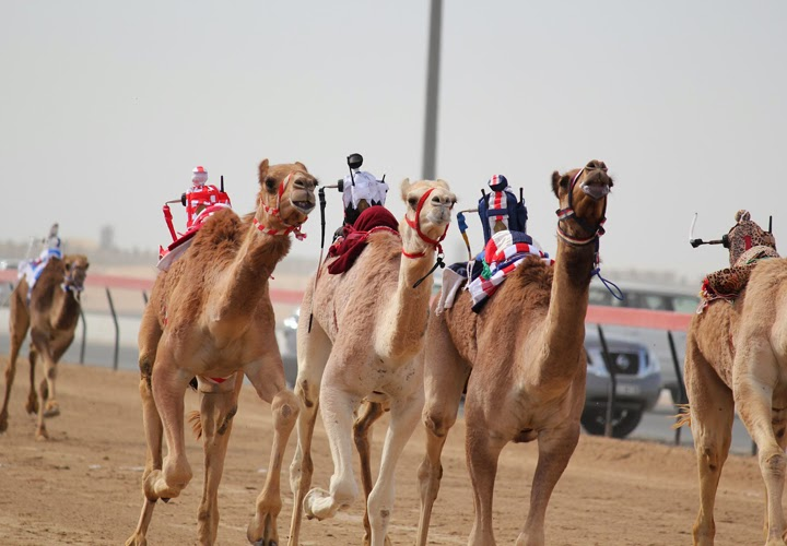 The Al Marmoom Dubai Camel Racing Season 2013/2014