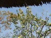 春光院のカリン(花梨)の実