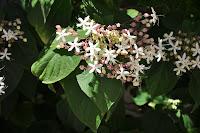 cagliari in verde la fioritura dell 39 albero del destino