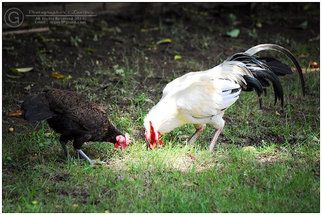 Photograph Chicken