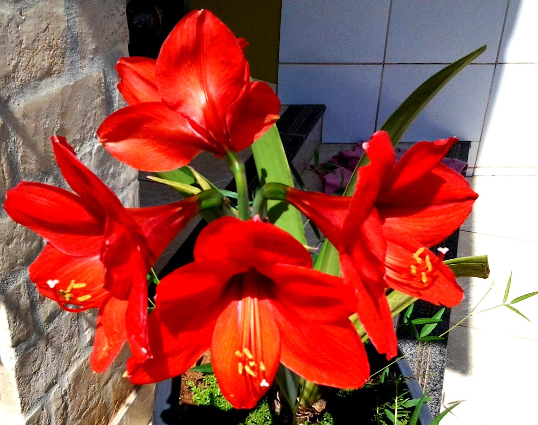 Amarilis Vermelha ( Orig. da África do Sul )