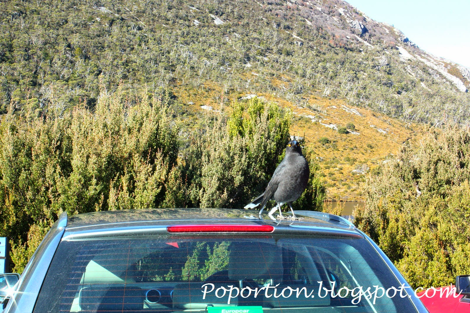 Crow on car