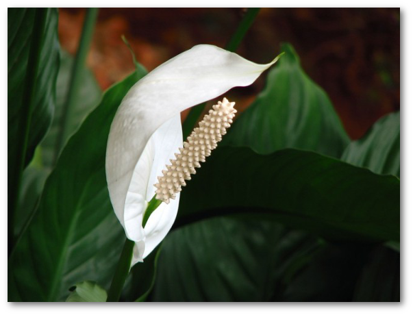Plante ornamentale daunatoare pentru oameni si animale