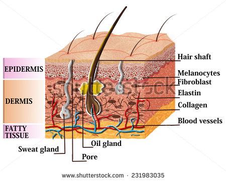 Skin Anatomy Diagram Pictures to Pin on Pinterest