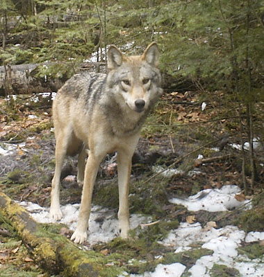 Wolf captured on Bushnell HD trail camera, 2012, near Bow Narrows Camp