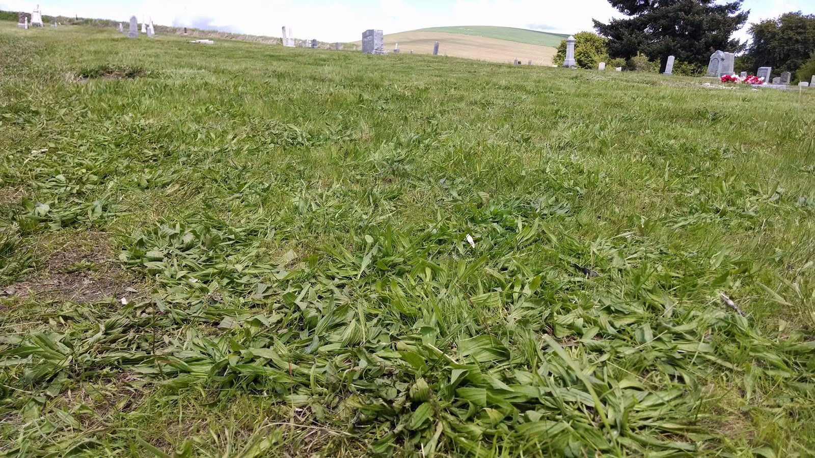 weeds, lawn weeds, dandelions, driveway, gravel, sterlization, weed control, 99362, walla walla, milton freewater, dayton