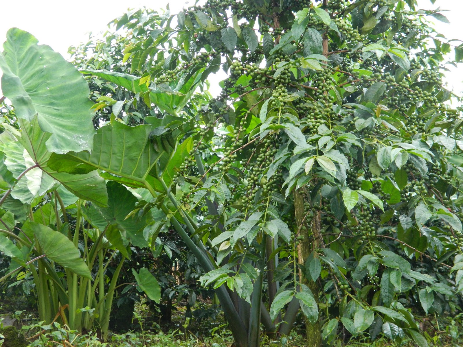 Ecom gill coffee trading private ltd