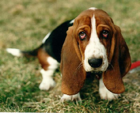 Cachorro-Basset-hound